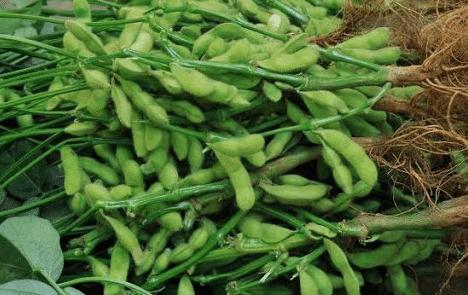 Cara Menanam Tanaman Kacang Kedelai Perawatan Hingga Panen Melimpah