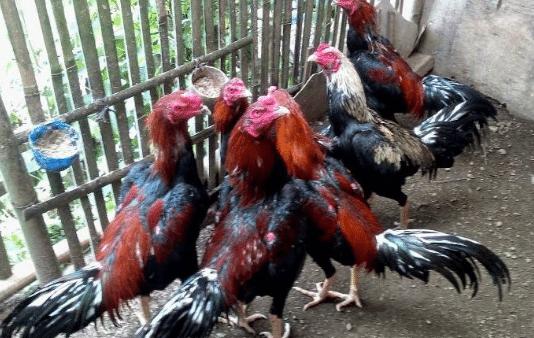 Foto Ayam Siam Super Cara Budidaya Dan Usaha Ternak Ayam Bangkok Yang Menguntungkan