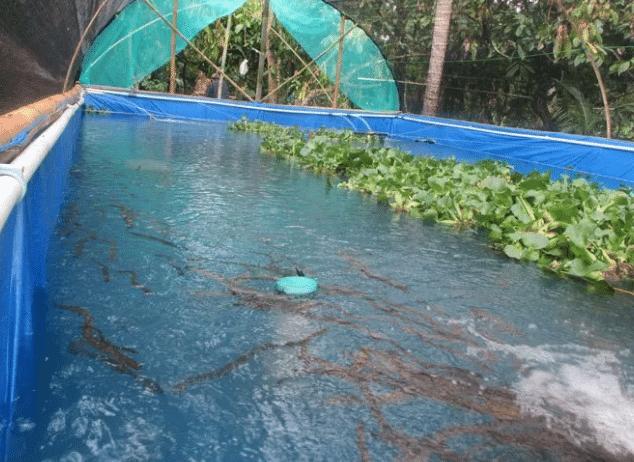 Panduan Lengkap Cara Budidaya Ikan Nila Di Kolam Terpal Panen