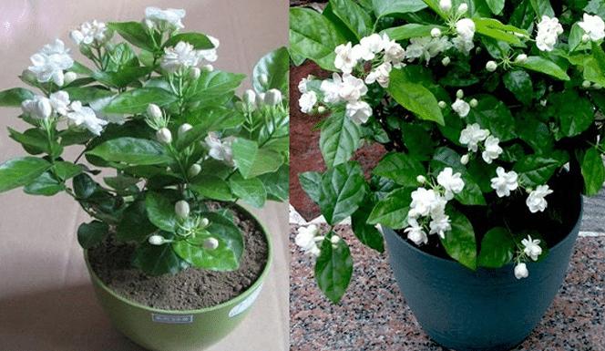 Panduan Lengkap Cara Budidaya Bunga Melati Hasil Menguntungkan