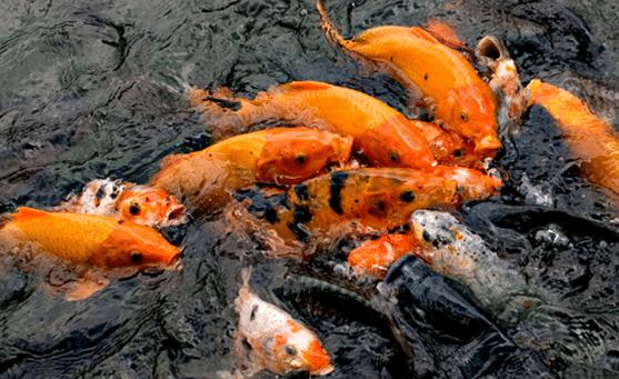 Panduan Lengkap Cara Budidaya Ikan Mas Di Kolam Tanah Panen Melimpah