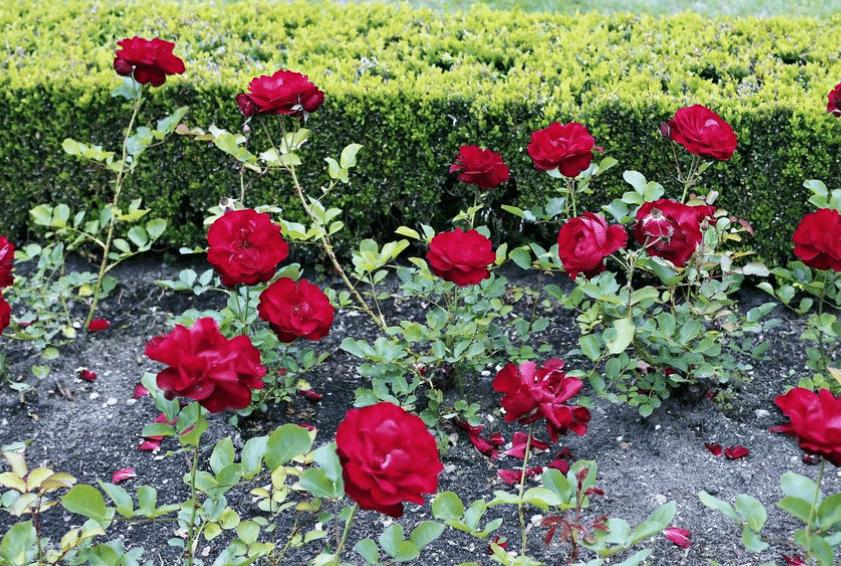 Cara Menanam Bunga Mawar Agar Cepat Berbunga