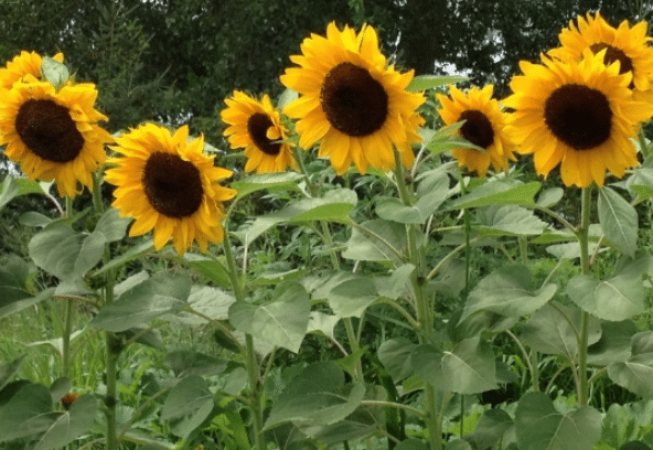 Cara Menanam Bunga Matahari Agar Cepat Berbunga