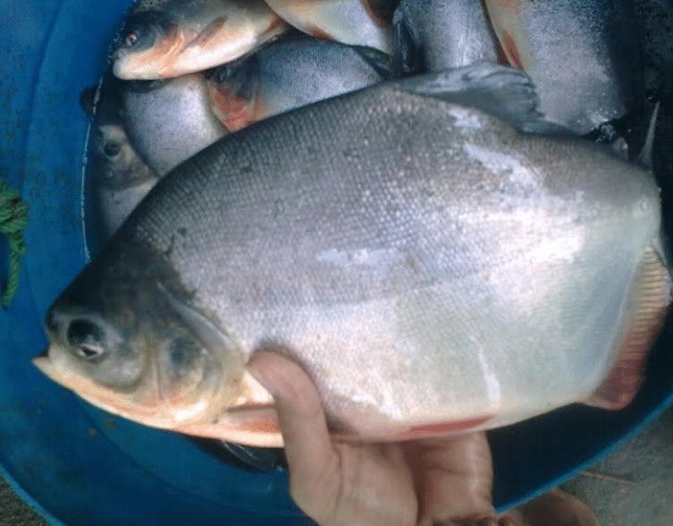 Cara Ampuh Pengendalian Hama Dan Penyakit Ikan Bawal