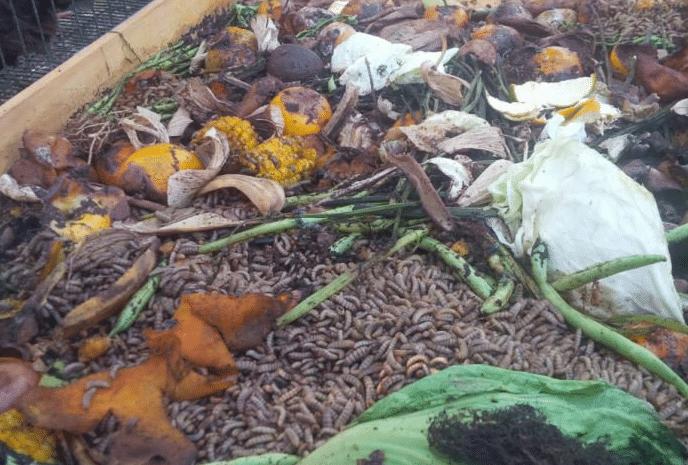 Cara Sukses Budidaya Maggot Untuk Pakan Lele Tanpa Bau