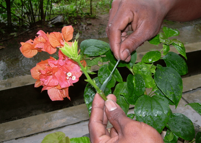 Cara Mudah Stek Tanaman Bunga Kertas Bagi Pemula