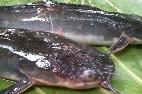 Pengendalian Penyakit Ikan Lele Rekomendasi Pakar Perikanan