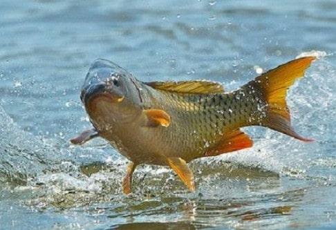 13 Cara Membuat Umpan Ikan Mas Dengan Cepat Dan Mudah