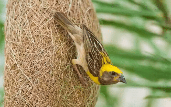 Cara Hidup Burung Manyar Dan Ciri Khasnya Terlengkap
