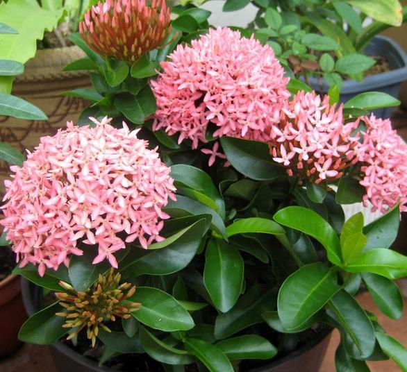 9 Cara Agar Bunga Asoka Cepat Berbunga Dan Selalu Subur