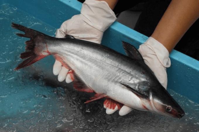 10 Cara Paling Ampuh Mengatasi Stress Pada Ikan Patin