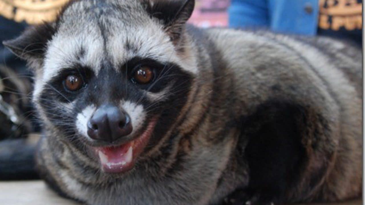 17 Cara Menjinakkan Musang Pandan Bagi Pemula