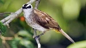 Cara Menghilangkan Suara Kutilang Pada Burung Trucukan