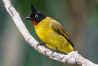 Mitos Memelihara Burung Trucukan Tanipedia Co Id